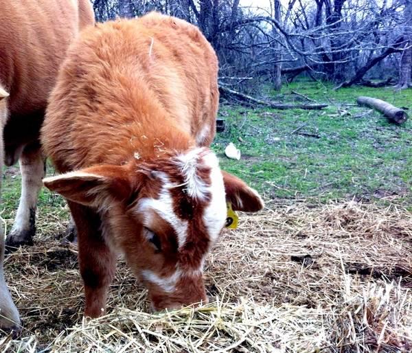 Elsie The Cow Eyelashes Traffic Club